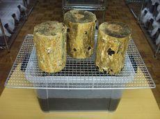 産卵木作製