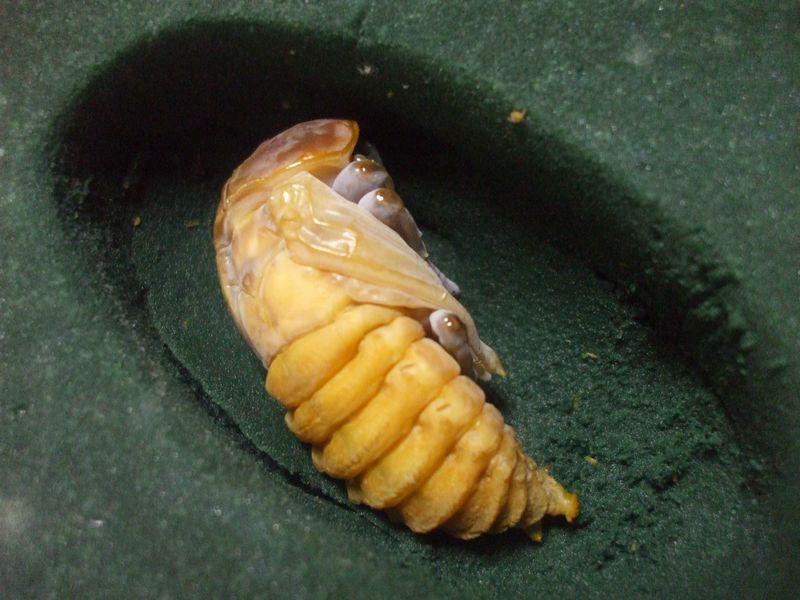 カブトムシ 幼虫 から 蛹 に なる まで